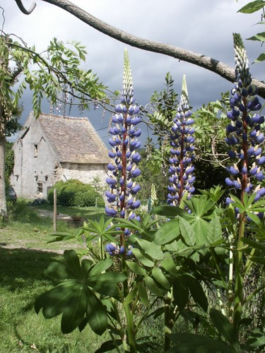 Fleur Lupin Vieuville Essonne Val 900942 Danielle Andreedst Flickr