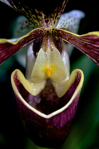 Belming Orchid | by radio4