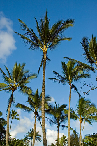 Coconut Trees at Smith's Tropical Paradise | by cayou13