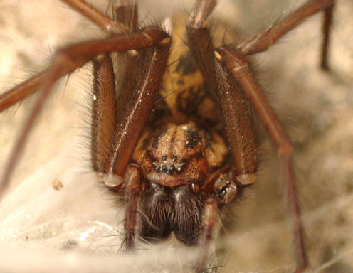 House spider | by wheehamx