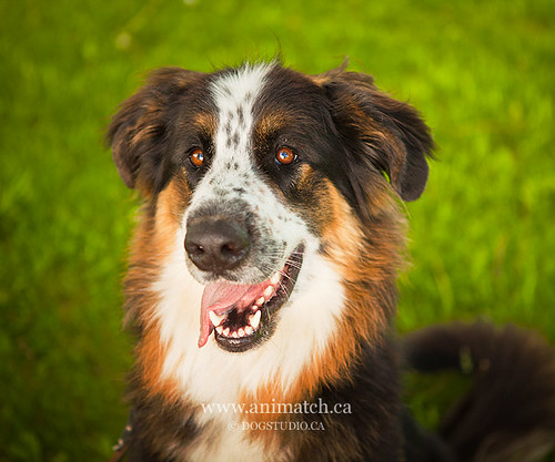 Weekly Dog for Adoption from Animatch.ca | by Batdelfuego!