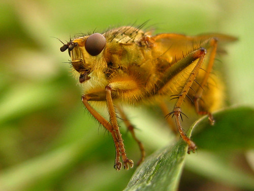 dung fly | by Caramosca