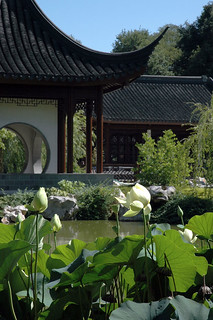 Lotuses in bloom - June | by The Huntington Library
