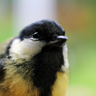 Koolmees - Great tit | by webted