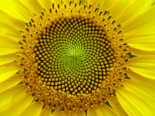 SunFlower: the Fibonacci sequence, Golden Section | by lucapost