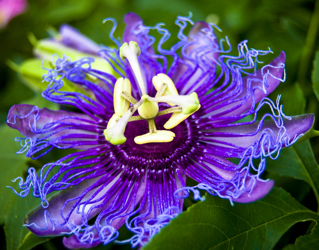 Purple Passion Flower Thanks To Jrandallc I Now Know The F Flickr