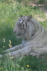 Siberian Tiger | by The Discreet Charm of Suburbanites