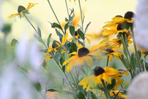 Black eyed susans | by AxsDeny