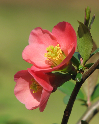 flowering quince duo | by Vicki's Nature