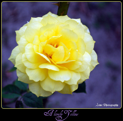 A Lovely Yellow. | by jcllight11283