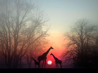 """Giraffes in the Sunset"" 