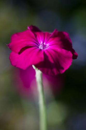Coquelourde des jardins silene coronaria monthodon fran - Coquelourde des jardins lychnis coronaria ...