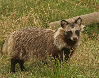 raccoon dog | by Dailyville