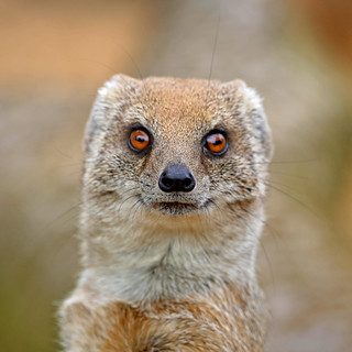 mesmerising mongoose | by Leo Reynolds