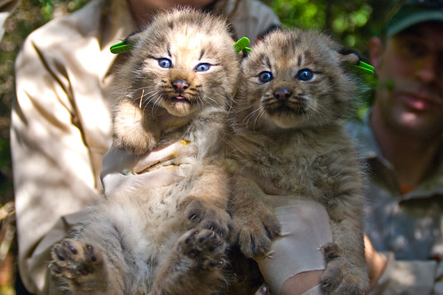 Two Canada Lynx Kittens | by U. S. Fish and Wildlife Service - Northeast Region
