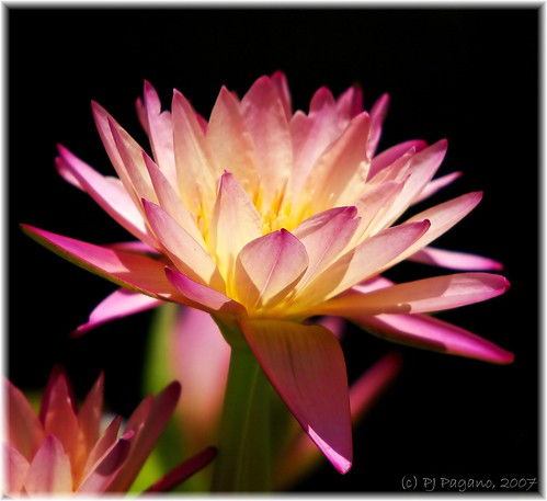 Pink Water Lily on Black... | by Light Your World Photography
