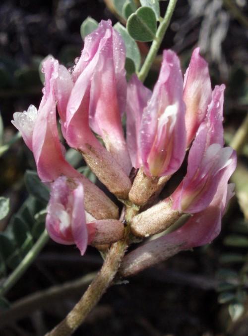 Astragalus incanus 4681554398_f4c6461fc8_o