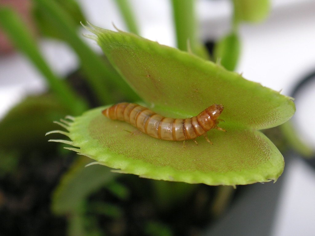 Meal Worm In Venus Fly Trap Blog Post Beatrice Murch Flickr