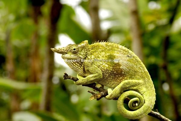 Fischers chameleon a fischers chameleon rests on a branc flickr fischers chameleon by russellbevanphotography fischers chameleon by russellbevanphotography thecheapjerseys Choice Image