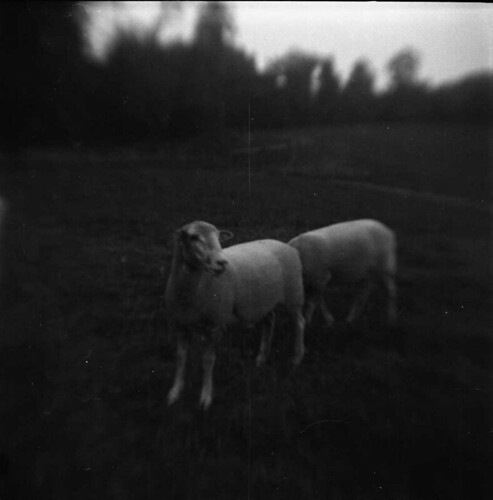 Sheep | by dusten.
