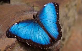 Common Morpho | by Christopher Capell