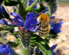 Vipers Bugloss and bee | by wheehamx
