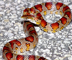Corn Snake, Everglades, south Florida | by TomSpinker