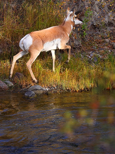 IMG_8548 Riverside Pronghorn, Yellowstone National Park | by ThorsHammer94539