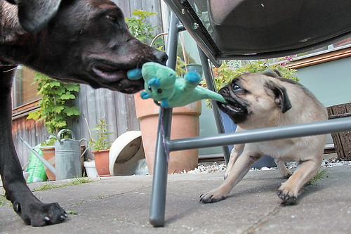 Ziva & Zoe lazy tug-of-war - IMG_6965a | by Alfs photodiary