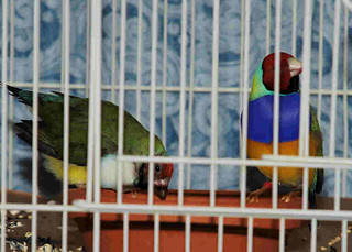 pair of breeding Gouldians | by Bill and Tina