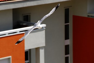152/365 - Croatia day 4: Seagull again | by dcclark