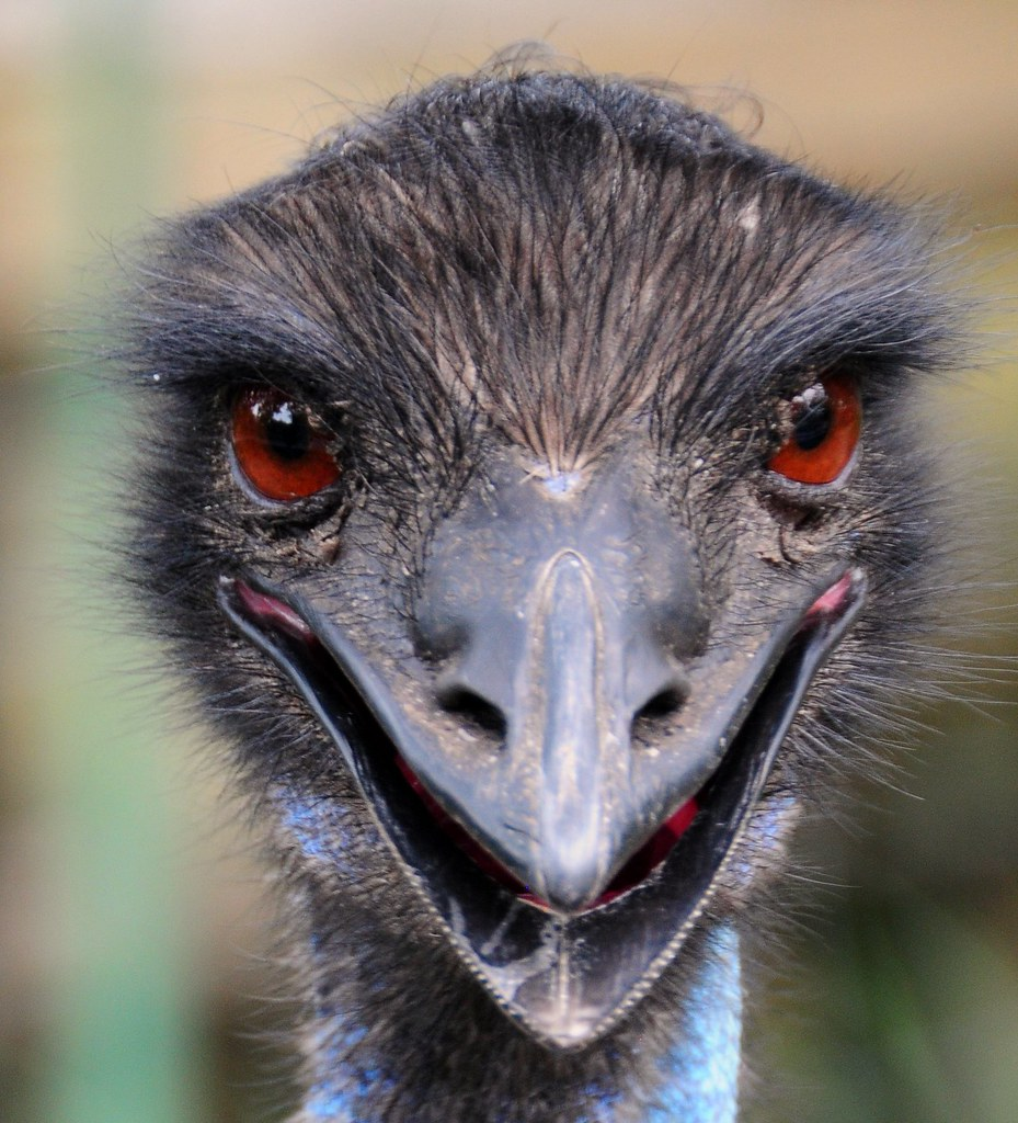 Aka The Evil Emu By Natural