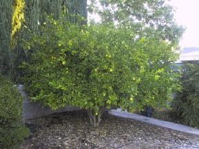 Exceptional ... Las Vegas Gardening   Meyer Lemon Tree | By Leslie Doyle