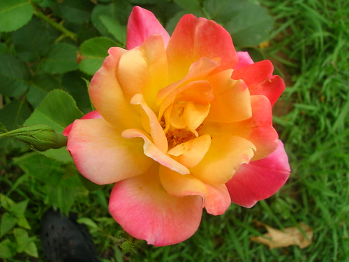Multi colored roses multicolored rose that grows up a for How to make multi colored flowers