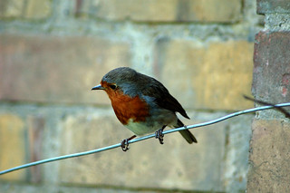 Robin o the Wire | by Harlequeen