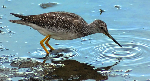 Twillick (Greater Yellow Legs) | by Litehouseman
