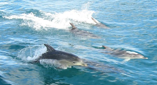 Dolphins in Port Phillip Bay, Victoria, Australia | by DocklandsTony