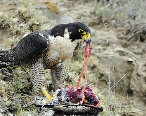 Peregrine Removing Prey Entrails | by Sharpeyesonline
