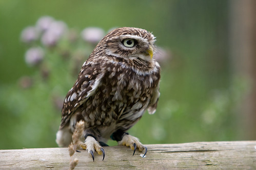 Little owl | by Sugarmonster
