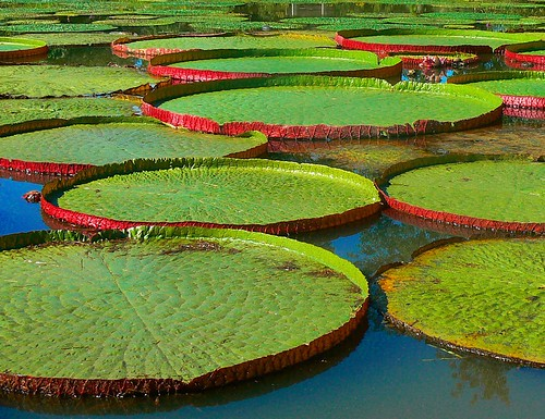 Lily Pad Stepping Stones | by Vicki's Pics