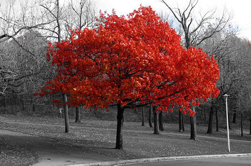 black and white pic with red tree cookiehutchin flickr. Black Bedroom Furniture Sets. Home Design Ideas