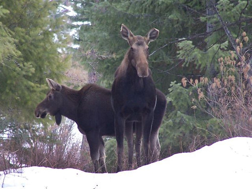 2009 moose shiras moose female with calf near the grande for Oregon department of fish and wildlife jobs
