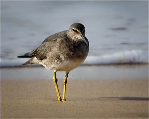Wandering Tattler | by Hot Flash Photography