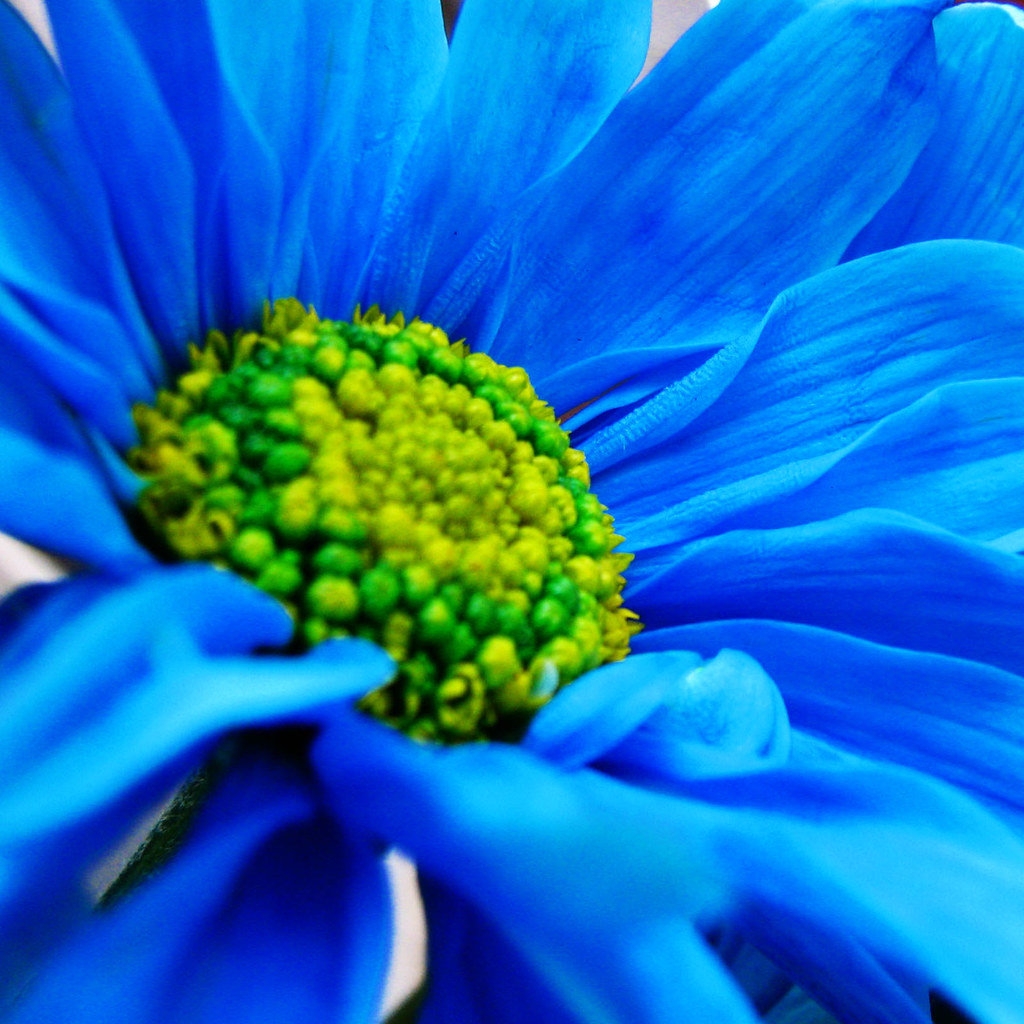 Blue Daisy Not Ps Only Crop No Fotoshopeada Solo Cortada 2 Flickr By Luz