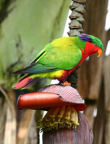 rimitara_lorikeet_phil-bender | by hedwig_the_owl