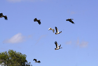 Egret and Magpie Geese in flight | by wildphotos4u