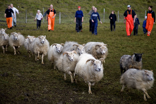 Icelandic sheep sorting | by bobri2007