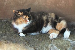 Calico Cat With Interesting Gps >> Taliesin Calico Cat   Sherpa the cat posing, with an innate …   Flickr