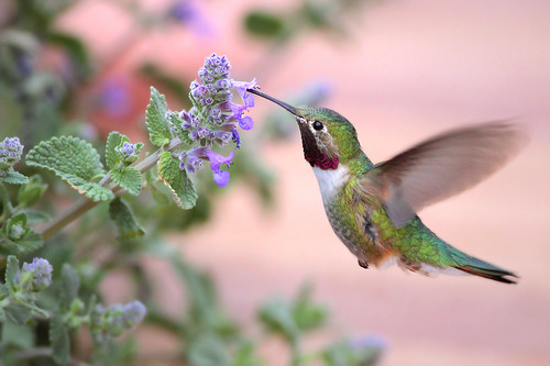 Broad-tailed Hummingbird | by gainesp2003