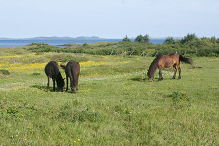 0130 Newfoundland Ponies, Change Islands, NL | by Sally Van Natta
